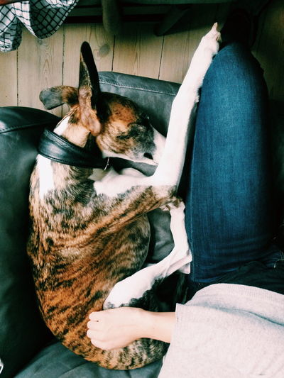 Cozy Cosy Dog Dog Love Greyhound Puppy Sleeping Sleeping Dog Pets Pets Sleepy Napping Pet Bed At Home Home Pampered Pets Feline