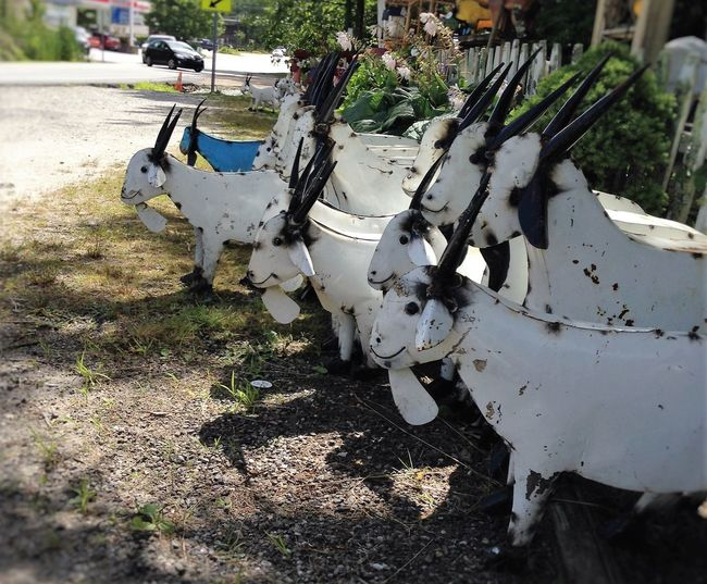 Bearded Goat, Day Trip, Goat Farmer Goat Life Goats In Cashiers Goats, Goat Life, All In A Row, Day, No People, Goatsarecool Metal Art, Herd Of Goats, Gotta Have One, Blue Goat, Ready Set Go,