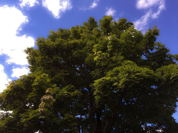 'Reminiscing..' Tree Nature Sky Low Angle View Growth Outdoors Pinaceae Green Color Day Cloud - Sky No People Blue Forest Beauty In Nature Scenics Branch Nature Photography Summer ADMIRING Reminiscing Looking Up Oslo2016✨ Tree Area Beauty In Nature Hugatree