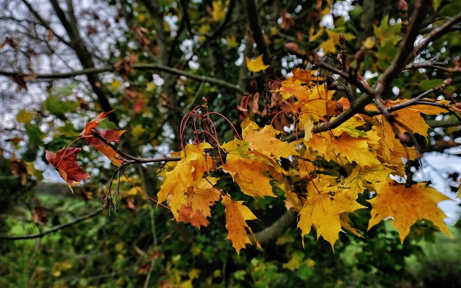 Autumn Colours Autumn Autumn Colors Autumn Leaves Fall Beauty Fall Colors Tree Autumn🍁🍁🍁 Beauty In Nature Branch Branches And Leaves Close-up Fall Fall Leaves Focus On Foreground Fragility Freshness Windswept Leaf Leaves Nature No People Outdoors Tranquility Yellow Blown Autumn Mood