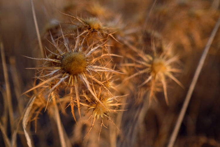 Close-Up Of Dry Dandelion On Field