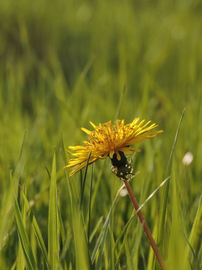 Dandelion Collection Plant Growth Beauty In Nature Fragility Flowering Plant Freshness Flower Vulnerability  One Animal Close-up Invertebrate Nature Insect Animal Themes Animals In The Wild Animal Day Green Color Field Animal Wildlife No People Flower Head Outdoors Pollination Blade Of Grass