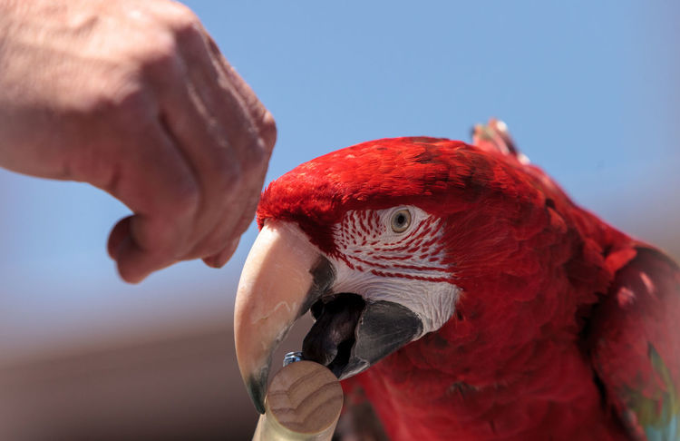 Green wing Macaw parrot bird Ara chloropterus with red, green and blue feathers Animal Themes Animal Wildlife Animals In The Wild Ara Chloropterus Bird Blue Close-up Day Feeding  Green Wing Macaw Hand Feeding Macaw Macaw Bird. Macaw Parrot Nature One Animal Outdoors Parrot Red