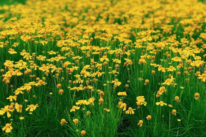a field of yellow flower Close-up Blooming Flower Flowering Plant Plant Yellow Beauty In Nature Field Growth Freshness Green Color No People Day Outdoors Tranquility Flower Head Nature Flowerbed Vulnerability  Fragility