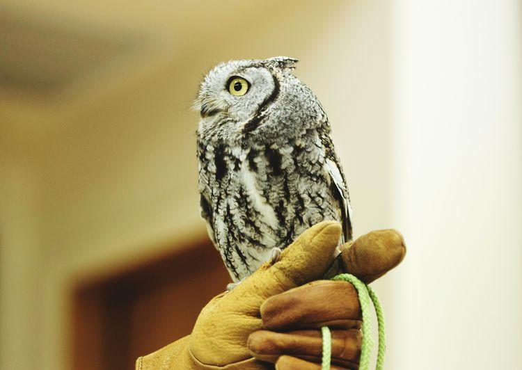 Screech Owl Bird Bird Photography Raptor Animal Wildlife Animal Themes Screech Owl Glove Hand Captive Animals Owl Bird Of Prey Perching