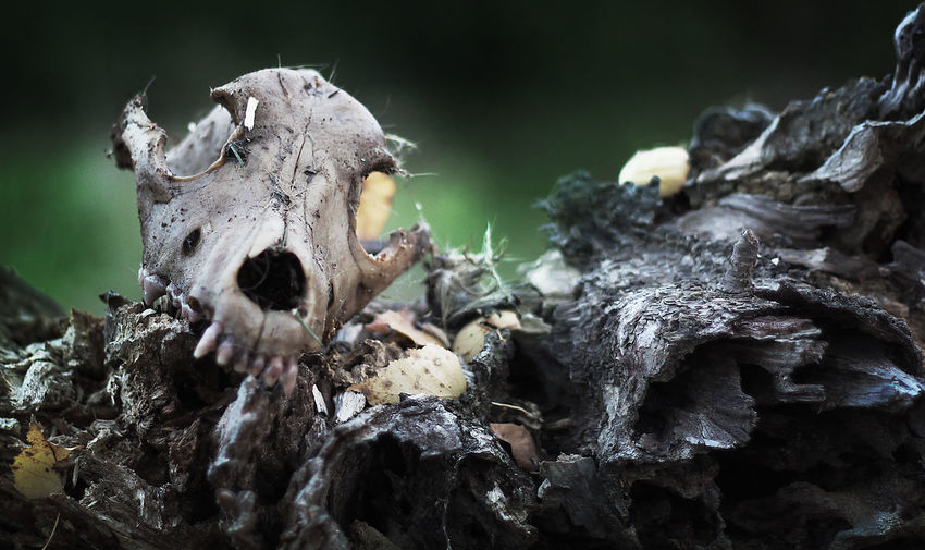 Death Happy Low Angle View Animal Bone Animal Skull Animal Themes Animals In The Wild Close-up Day Life And Death Lifestyles Mammal Nature No People One Animal Outdoors Rotting Skull Skulls And Bones