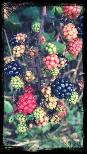 blackberries Colors Of Autumn