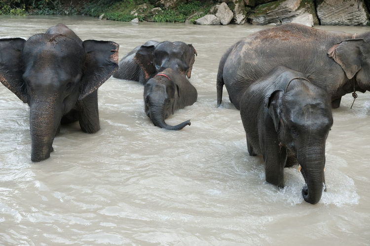 View of elephants in water