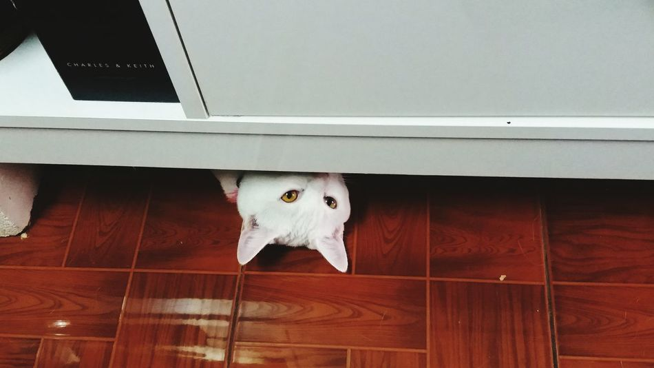 Hideandseek Animal Pets One Animal No People Cat Catlovers Catlover Catsociety Catmania Catoftheday Catsofinstagram Mycat Close-up Indoors  Domestic Animals Looking At Camera Catstagram Lovelycats Pets Of Eyeem Cat Watching Lovelycat Lovelycatsoninstagram Category Petsofeyeem Lovely