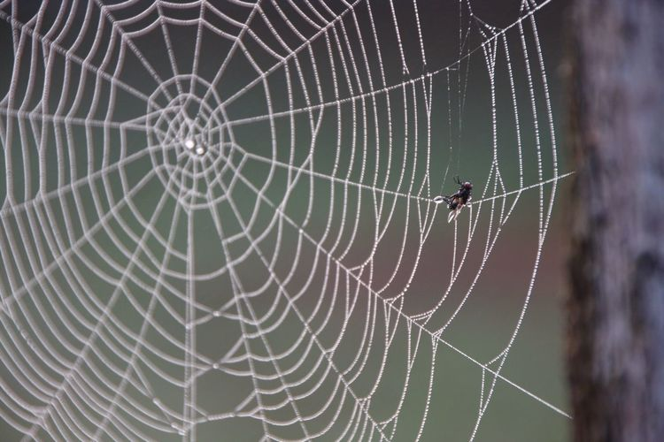 Housefly Trapped On Wet Spider Web
