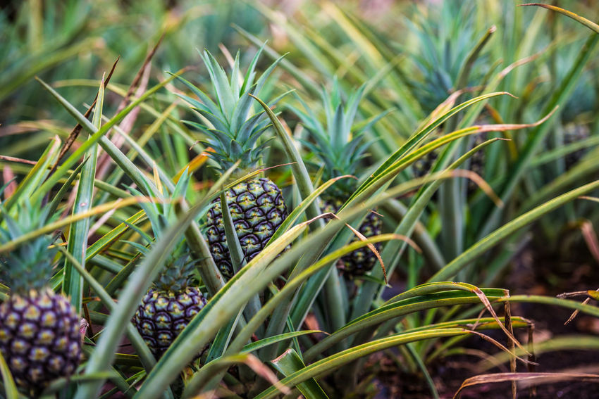 Close-up Freshness Growing Growth Pineapple Plant