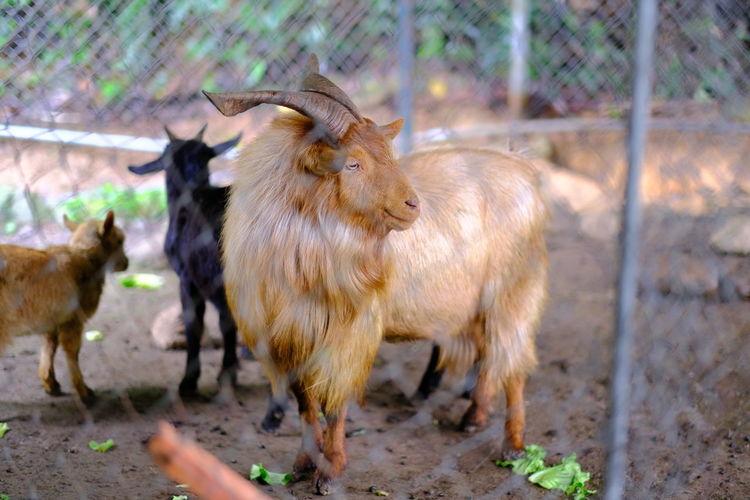 Goats on a field