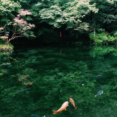 Ultimate Japan Hello World Quality Time VSCO Vscogood Vscocam Japan Summer Koi Fish Pond Magical Nature Beautiful Relaxing Beauty In Nature