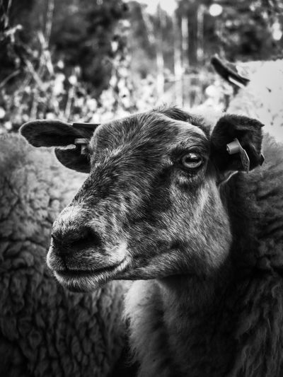 🐑 Sheep Schaap One Animal Animal Themes Animal Mammal Vertebrate Domestic Animals Close-up Pets Focus On Foreground Domestic Animal Body Part Canine Looking Looking Away Animal Head  No People Day Portrait Nature