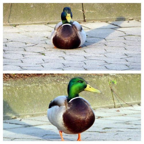 Waiting For The Bus Or For Me?😍 Or Just Enjoying The Sun Duck Wildlife Nature Enjoyinglife Beauty In My City Sunny Day In Spring😍 For My Friends 😍😘🎁 Simple Beauty Springtime💛 Beauty In Nature Enjoyinglife  Zoom ♡ Love To Be Outside At The Bus Stop With Him
