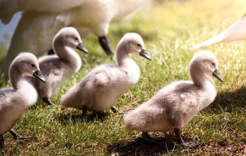 Ducks in a grass