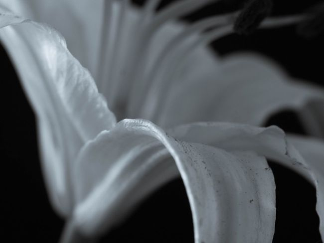 Nature Light And Shadow Lily Monochrome 花 Flowerporn EyeEm Nature Lover Flowers Blackandwhite Bw_collection