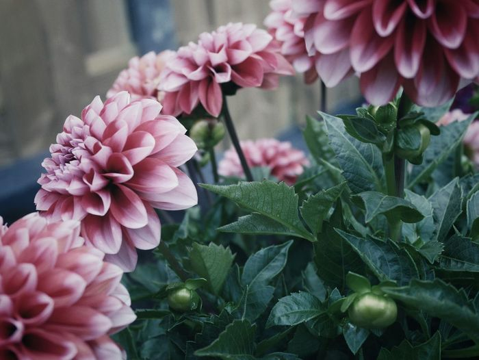Flower Petal Beauty In Nature Pink Color Nature Plant Flower Head Fragility Freshness Growth Close-up No People Outdoors Leaf Day Dahlia Dark Mood The Week On EyeEm