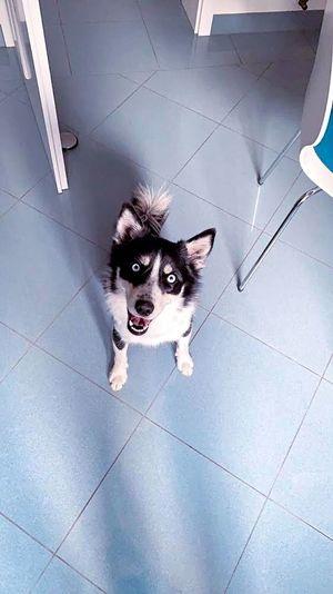 Blue eyes Eyes Blue Sibirian Huskys Dog One Animal Pets Domestic Canine Mammal Dog Domestic Animals