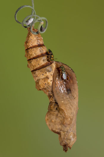 Close-up of insects on butterfly cocoon