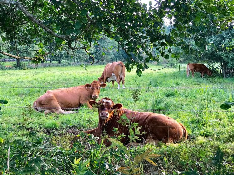 Grass Mammal Animal Themes Field Cattle Tree Cow Nature Grazing Outdoors No People Group Of Animals Day Livestock Animals In The Wild Green Color Landscape Plant Domestic Animals Growth