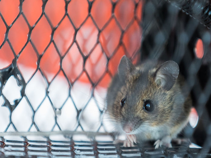 Apodemus Sylvaticus Catch Pest Control Wood Mouse Animal Themes Caged Close-up Cute Day Infestation Live Catch Trap Mammal Metal Mouse No People One Animal Outdoors Pest Pets Rodent Scared Trap Trapped Wild Animals Wildlife