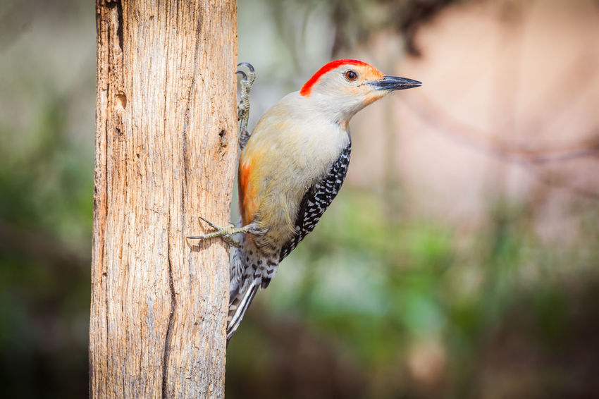 Red-Bellied woodpecker hanging on to wooden fence post Bird Bird Photography Red-bellied Woodpecker Wildlife & Nature Wildlife Photography Woodpecker Woodpecker In Tree