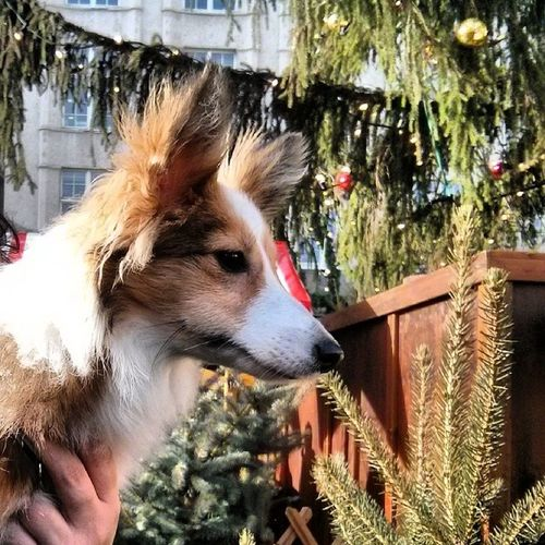 At the christmas market Sheltiemix Sheltie Sheltiesofig_ Cute christmas weihnachtsmarkt mixedbreed nofilter