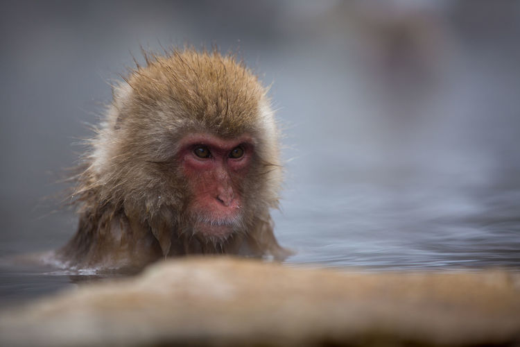 Animal Animal Body Part Animal Head  Animal Themes Animal Wildlife Animals In The Wild Cold Temperature Day Hair Hot Spring Japanese Macaque Mammal Monkey No People One Animal Portrait Primate Selective Focus Water