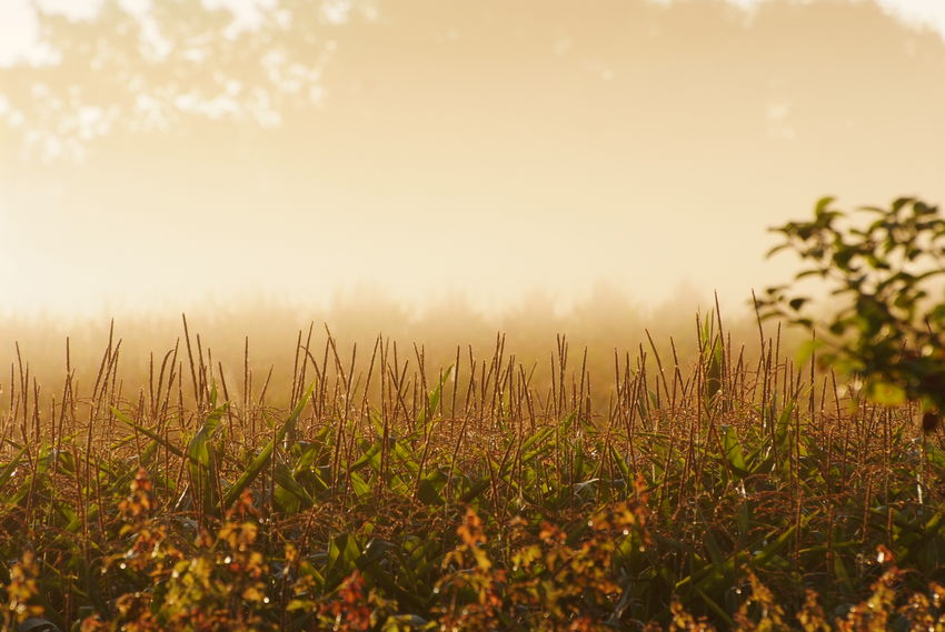 "Looks like autumn. Early morning mist on August 28. From the ongoing project ""aMaizeThing"". Photograph (c ) 2017 Kay-Christian Heine Autumn Backlight Late Summer Misty Agriculture Backlit Beauty In Nature Cornfield Early Morning Earlymorning  Field Fog Golden Hour Growth Indian Summer Landscape Maize Field Nature No People Outdoors Scenics Sky Sunrise Tranquil Scene Tranquility"