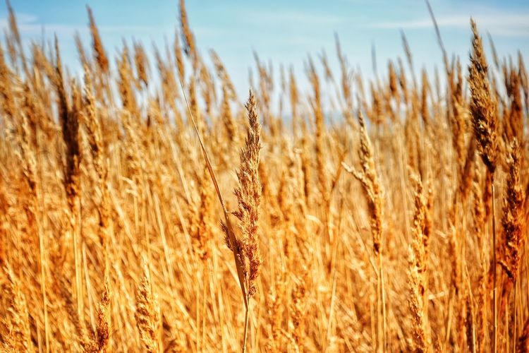 Backgrounds Pattern Coastline Seascape Seaside Dry Grass Patterns In Nature Gold Colored Golden Hour Thatch Evening Light Growth Nature Crop  Plant Outdoors No People Tranquil Scene Close-up Tranquility Grass
