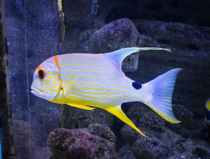 Animal Themes Animal Wildlife Animals In The Wild Aquarium Beauty In Nature Close-up Day Fish Full Length Nature No People One Animal Outdoors Sea Sea Life Swimming UnderSea Underwater Water Yellow
