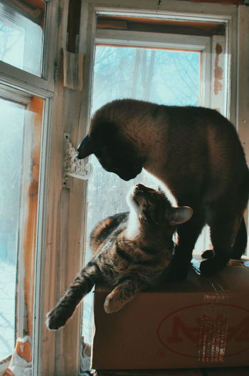cat cats siamese cat The Week on EyeEm Love Cat Cats Siamese Cat One Animal Domestic Animals Mammal Pets Animal Themes Animal Indoors  Window Day No People Close-up