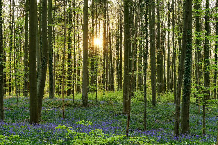 The magic of Hallerbos - bluebells - April 2019 - Plant Tree Forest Land Tranquility Growth Beauty In Nature Tranquil Scene Tree Trunk Trunk WoodLand No People Nature Scenics - Nature Day Sunlight Green Color Non-urban Scene Landscape Abundance Outdoors Bluebells Hallerbos Bois De Hal Hyacinth Flower