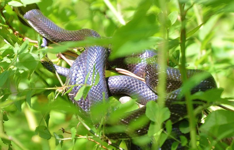Coiled black tree snake Animal Animal Wildlife Beauty In Nature Close-up Cpolied Black Tree Snake Green Green Color Natural Pattern Nature Plant Wildlife