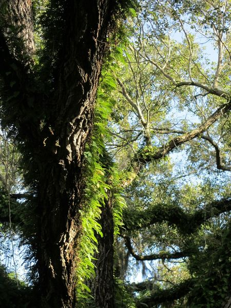 Hugging A Tree Live Oaks Live Oak Nature Ferns Light And Shadow