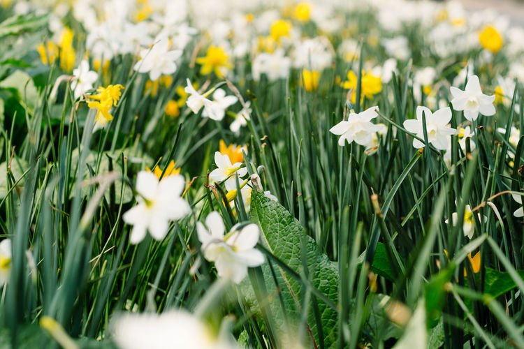 Nature Flower Spring Day Field Outdoors White Yellow Springtime Plant Land Growth Fragility Petal Freshness Close-up Beauty In Nature No People Vulnerability  Green Color Inflorescence Selective Focus Flowering Plant White Color Flower Head Vulnerability