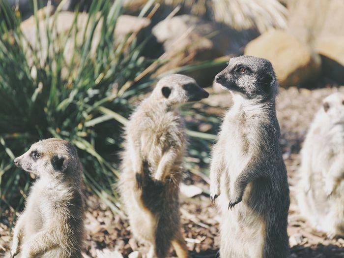 Meerkats on field