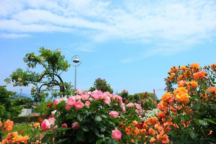 少し広角で!(*^^)/ Rose♥ Roses🌹 Rose🌹 Roses Flowers_collection Flower Collection EyeEm Flower EyeEm Best Shots - Flowers Flower Flowers
