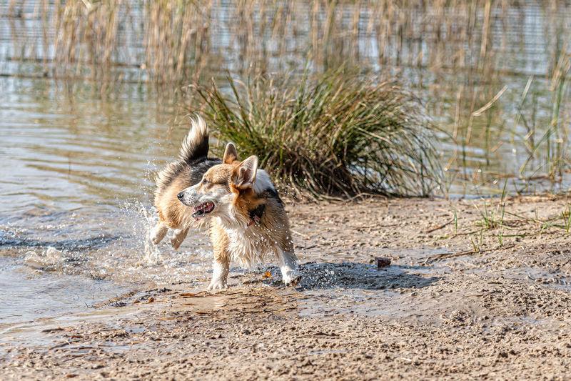 Dog running on wet sand at beach