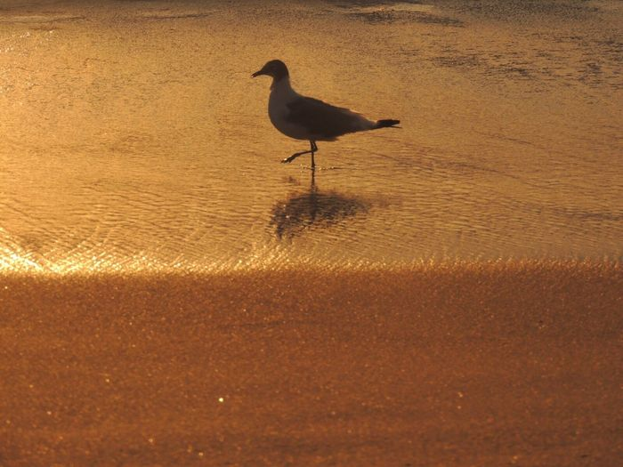 https://youtu.be/3HXvy7IJFr8 Life Is A Beach Simple Beauty Beach Photography Sand Beach Golden Hour Seagull Animal Themes One Animal Waves On The Sand Saturday Sun Walking On The Beach
