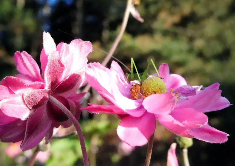 Beauté De La Nature Animal Themes Couleur Rose Pink Color Insecte Sautetelle Après Un Coucou Repart Poursuit Son Chemin Sa Route Sacré Nature O
