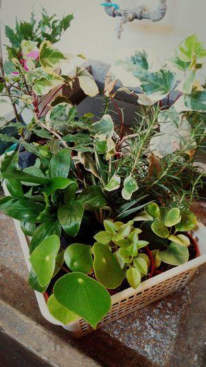 Persistencia botanica