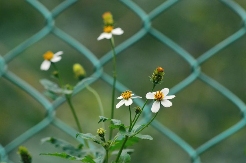 White flowers Flower Chainlink Fence One Animal Animal Themes Plant Insect Day Nature Petal Outdoors Fragility Growth No People Flower Head Close-up Animals In The Wild EyeEmNewHere