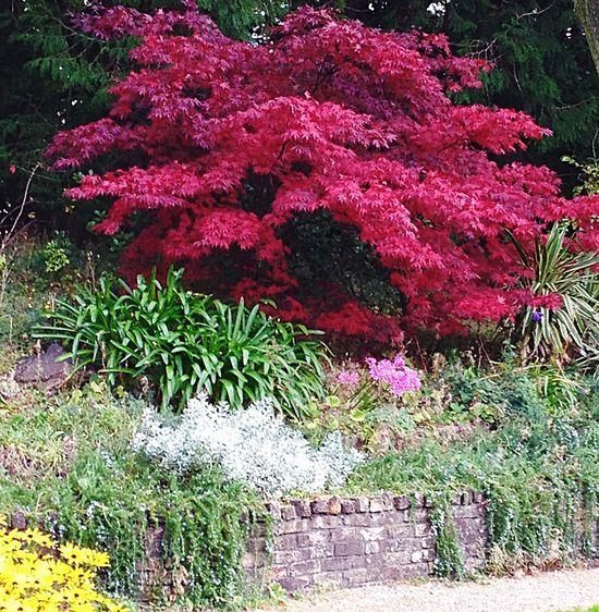 Trees And Bushes Landscape_Collection Nature_collection Landscape_collection EyeEmNatureLover Nature Grass And Trees Tree And Grass Trees Collection Trees And Nature Pink Trees Garden Garden With Stone Wall Garden With Specimen Tree Specimen Tree 🌲 Colourful Tree Garden With Herbaceous Backdrop Tree_collection  Tree Area Lawn With Herbaceous Backdrop Lawn With Borders Lawn With Wall Backdrop Pink Color