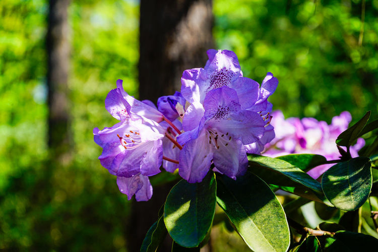 Purple Rhododendron Beautiful Blooming Close-up Colors Flowering Flowers Green Light Light And Shadow Morning Light Nature Outdoors Purple Purple Flowers Rhododendren Rhododendron Rhododendrons Spring Sunhine Sunlight Violet