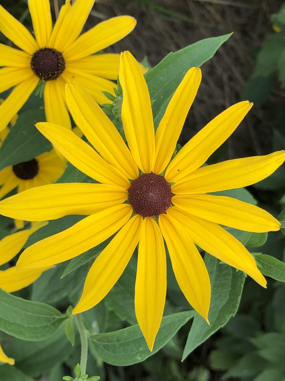 CLOSE UP OF YELLOW BLACK-EYED AND PURPLE FLOWER