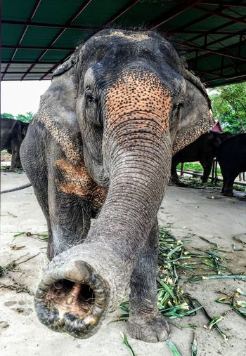 Asian  ASIA Southeast Asia Elephants Elephant Thai Thailand Animal Animal Themes Vertebrate Mammal Animal Wildlife One Animal Animals In The Wild Nature Day No People Elephant Sunlight Animal Body Part Pets Domestic Zoo Close-up Outdoors