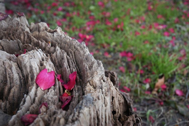 愛は惜しみなく降り注ぎ。 Nature Beauty In Nature Pink Color Flower Fragility Petal 山茶花 Growth Rings 年輪