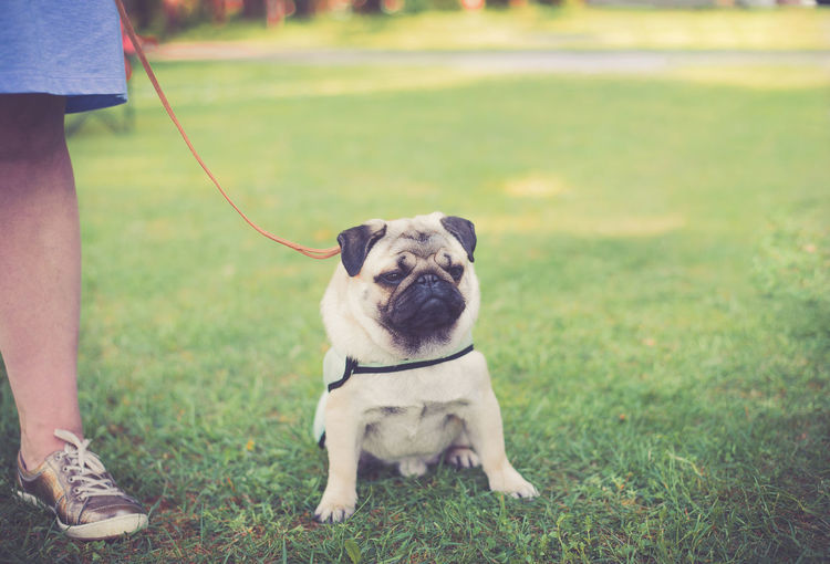 Pug on the leash Close-up Day Dog Domestic Animals Grass Human Body Part Leg Lifestyles Mammal Men Nature One Animal Outdoors Pet Leash Pets Plant Pug Life  Pug On The Leash Pug With Cooling Vest Real People Sitting Sneackers Pet Portraits